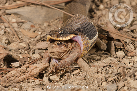 Eastern Hognose Snake eating an American Toad, USA