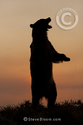 Grizzly Bear, standing up on hind legs at sunrise, Montana, USA