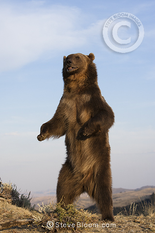 Grizzly Bear standing upright, Montana, USA