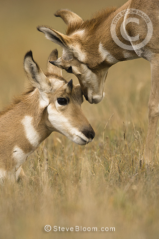 Pronghorn, Yellowstone, USA