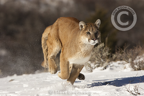 Cougar running in the snow, Montana, USA