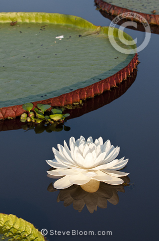 Giant Water Lilies on a lake near Cuiaba River, Northern Pantanal, Brazil.