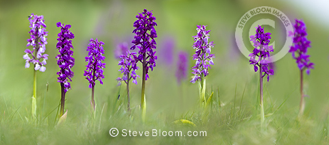 Meadow of Early Purple Orchids, Cressbrook Dale, Peak District, Derbyshire, UK (Digitally Stitched Image).