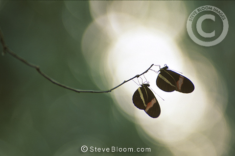 Two Postman Butterflies perched on a twig, Corcovado National Park, Costa Rica