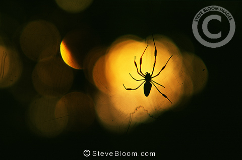 Silhouetted Golden Orb Spider, Corcovado National Park, Costa Rica
