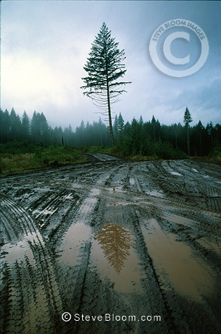 Lone Fir tree in a clear cutting, Forks, Washington