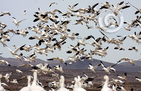 Snow geese flying up, Bosque del Apache, New Mexico USA