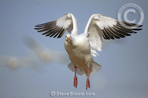 Snow goose landing, Bosque del Apache, New Mexico, USA