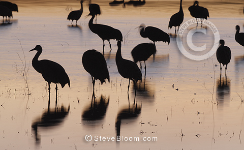 Sandhill cranes, Bosque del Apache, New Mexico, USA