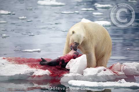 predator prey relationship polar bear and seal If seals are unavailable, polar bears will go after larger prey, such as beluga whales and even baby walruses  predator/prey interactions,  polar bear food chain related study materials.