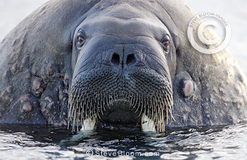 Walrus close-up, old scarred male, Svalbard, Norway