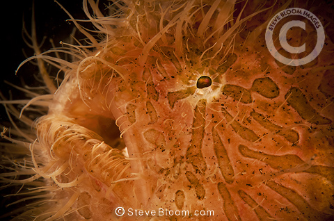 Hairy frogfish, Lembeh, Indonesia, Asia
