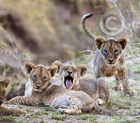 African Lion cubs  - approx 3 months old - near the Luangwa River. South Luangwa National Park, Zambia
