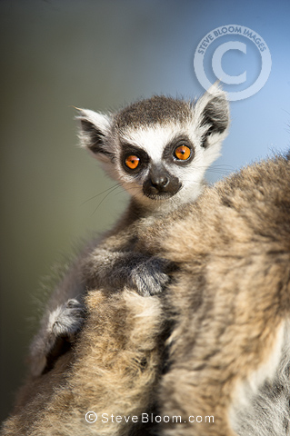 Infant Ring-tailed Lemur (6-8 weeks) clinging to mother. Berenty Private Reserve, southern Madagascar