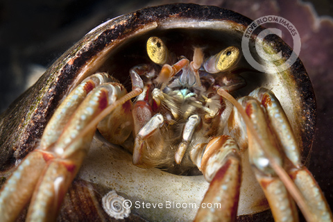 Common Hermit Crab close up of head, Isle of Skye, Scotland.