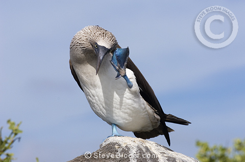Blue-footed booby, Punto Cevallos, Espanola (Hood) Island, Galapagos Islands, Ecuador, South America.