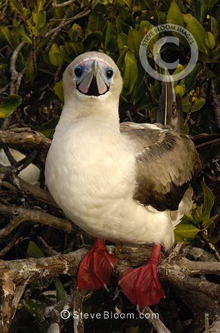 Red-footed booby, Tower (Genovesa) Island, Galapagos Islands, Ecuador, South America.