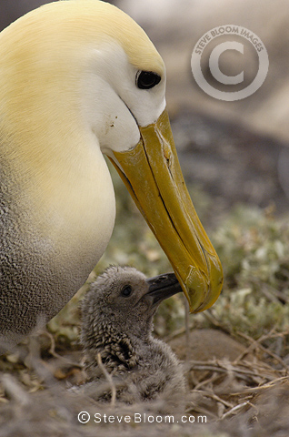 Waved Albatross and chick, Espanloa (Hood) Island, Galapagos Islands, Ecuador, South America. (critically endangered)