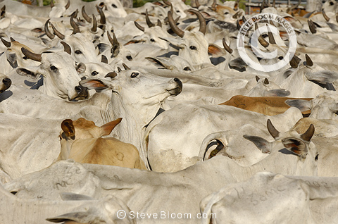 Pantanal cattle being herded, Mato Grosso do Sul Province, Brazil.