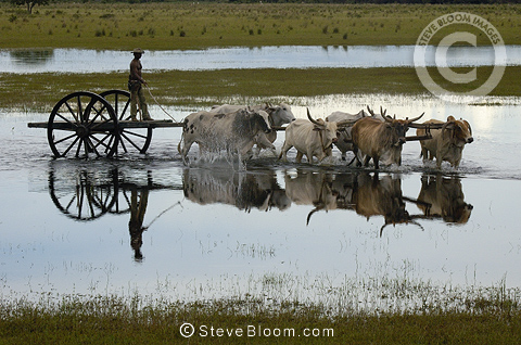 Ox cart being used during the floods when no other vehicle can manage the terrain. Central Pantanal, Brazil