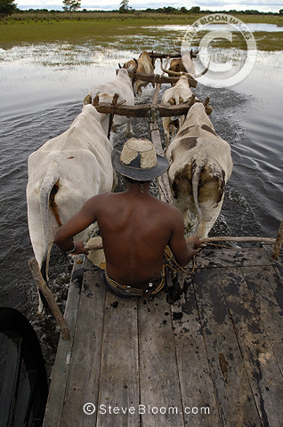 Ox cart being used during the floods when no other vehicle can manage the terrain. Central Pantanal, Mato Grosso do Sul Province, Brazil