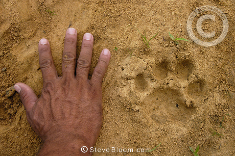 Jaguar footprint with hand for size comparison, Cuiaba ...
