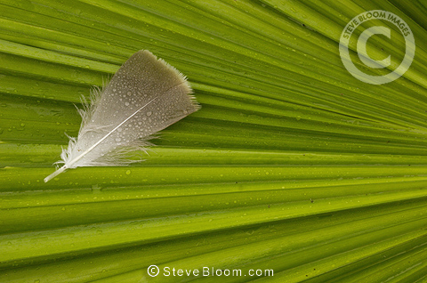 Palm leaf and feather, Lowlands of Western Ecuador