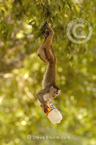 White-fronted capuchin monkey with 'people' food, Puerto Misahualli, Amazon rain forest, Ecuador