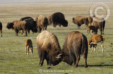 American Bison, Yellowstone National Park, Wyoming. USA