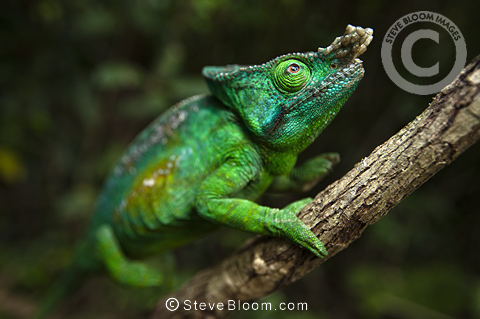 Parsons chameleon male climbing vine in tropical rainforest, Andasibe-Mantadia National Park, Madagascar.