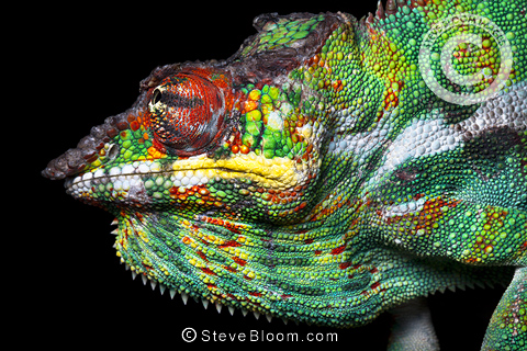 Panther chameleon male in threat display, Madagascar.