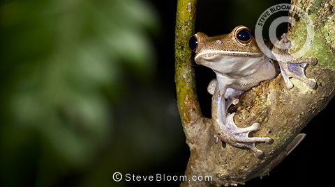 Tree frog in tree in tropical rainforest at night. Masoala Peninsula National Park, Madagascar.