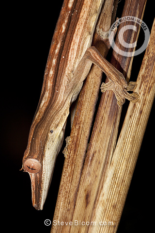 Lined Leaf-tailed Gecko camouflaged amongst dead palm fronds, hunting invertebrate prey at night. Masoala Peninsula National Park, Madagascar