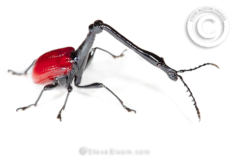 Giraffe necked weevil male photographed on white background, Andasibe-Mantadia National Park, Madagascar