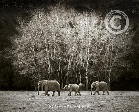 Three African elephants walking, Cabarceno, Spain