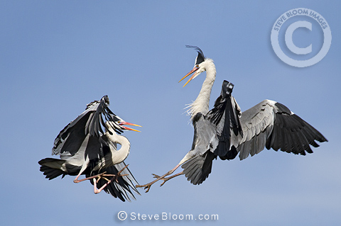 Two great blue heron fighting for the territory, Cantabria, Spain