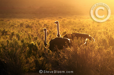 Two ostriches at sunset, South Africa