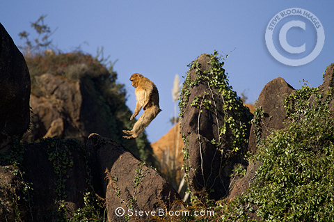 Barbary macaque jumping, Cabarceno, Spain