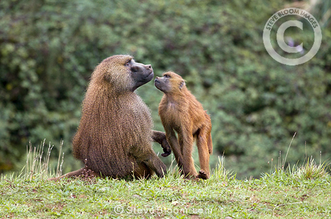 Guinea baboon and young, Cabarceno, Spain