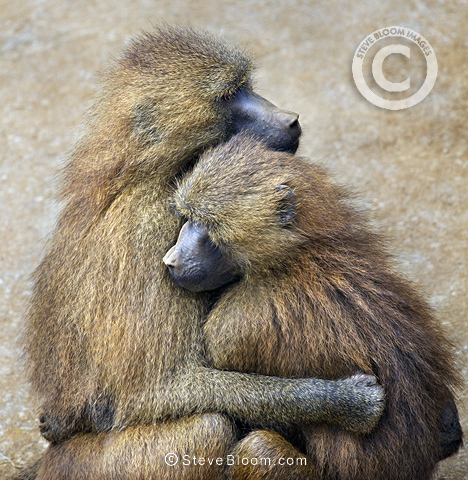 Guinea Baboon couple, Cabarceno, Spain