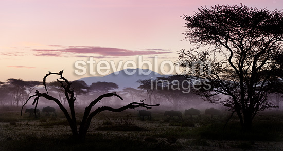 White-bearded Wildebeest migrating through Acacia woodland at dawn, Serengeti, Tanzania