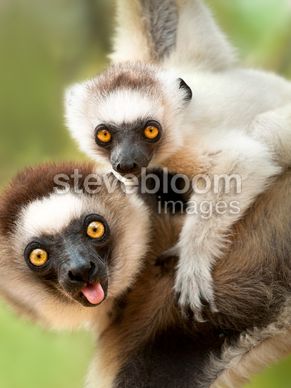 Female Verreaux's Sifaka with 4-5 month old infant, Berenty, Southern Madagascar