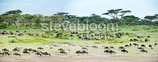 Massing herds of White-bearded Wildebeest on migration. Ndutu, Serengeti, Tanzania