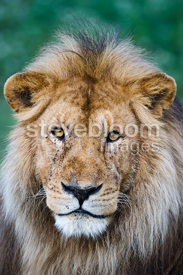 Male African Lion at Big Marsh, Ndutu, Ngorongoro, Tanzania