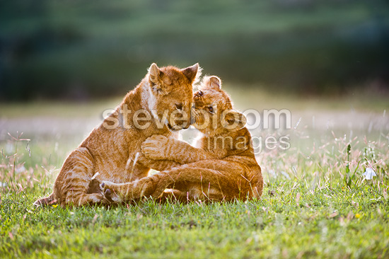 African Lion cubs around 4 month old cub playing together, Big Marsh, Ngorongoro, Tanzania