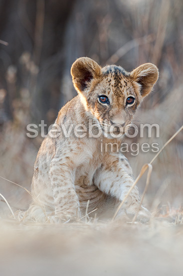 African Lion cubs, approx 3 months old, South Luangwa National Park, Zambia