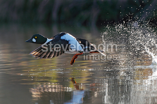 Goldeneye male flying up on water surface, Norway
