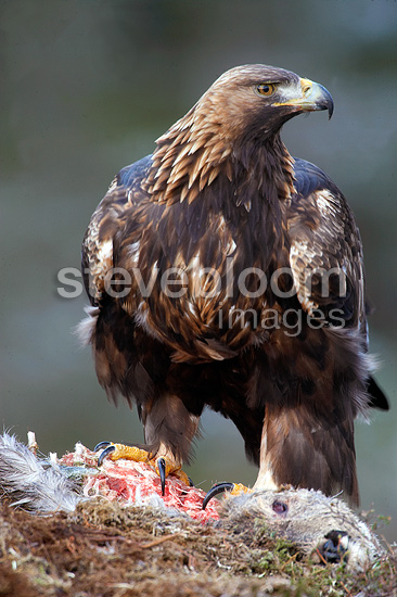 Golden eagle eating from roe deer carcass, Trondelag Norway