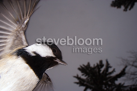 Coal tit wide-angle portrait against tree tops, winter, Norway