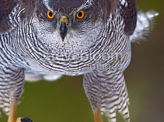 Goshawk tight portrait, Norway, January